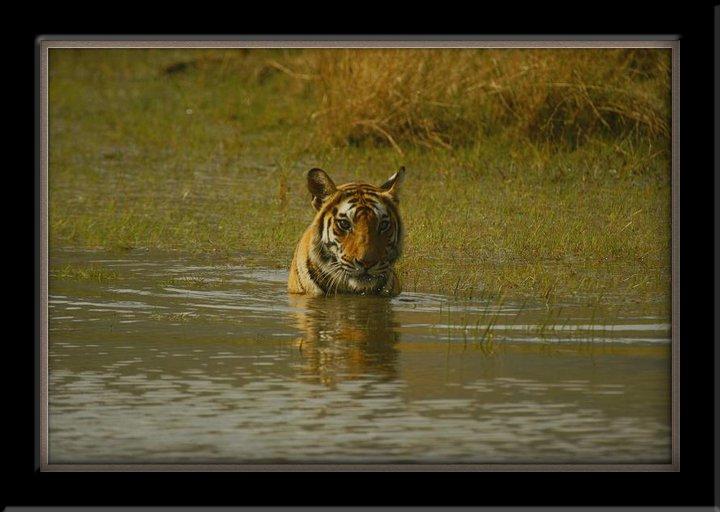 Tigerinlake